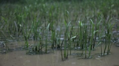 Stock Video Footage of Stormy Reeds 1