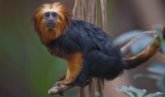 Lionhead ape - stock photo
