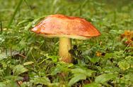 Stock Photo of orange-cap boletus
