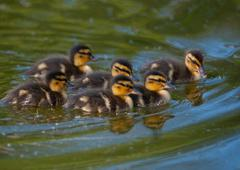 Six little ducks are swimming Stock Photos
