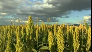 Stock Video Footage of Sorghum Stalks Bloom