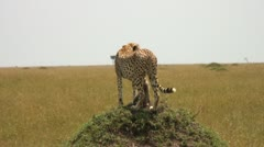Cheetah mother - stock footage
