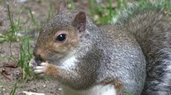 Grey squirrel eating from its paws. Stock Footage