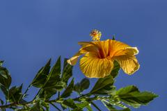 yellow brazilian flower - stock photo