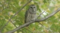 Barred Owl (Strix varia) takes flight Footage