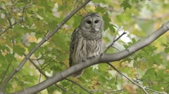 Barred Owl (Strix varia) takes flight - stock footage