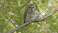 Stock Video Footage of Barred Owl (Strix varia) takes flight