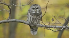 Barred Owl (Strix varia) looks around - stock footage