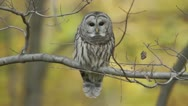 Stock Video Footage of Barred Owl (Strix varia) looks around