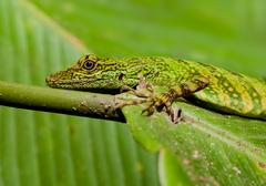 Small Green Lizard Shot In Amazonian Forest - stock photo