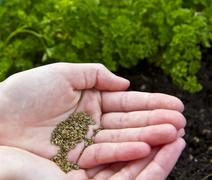 planting parsley seeds - stock photo
