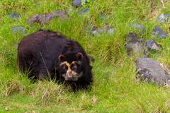 Large Male Andean Bear Shoot In The Wild In Ecuadorian Andes Mountains Stock Photos