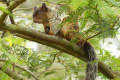 Male Fox Squirrel In Natural Habitat Ecuadorian Rainforest - stock photo