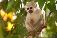 Stock Photo of Saimiri Cub In The Amazonian Rainforest