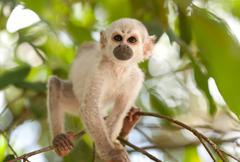 Saimiri Cub In The Amazonian Rainforest - stock photo