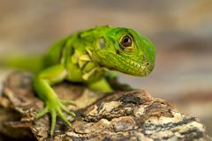 Stock Photo of Close Up Of A Young Iguana In Natural Environment