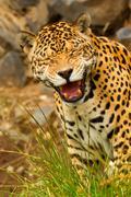 Funny Pose Of An Wild Big Jaguar Male Shoot In The Wild Ecuadorian Amazonia Stock Photos