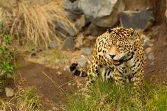 Large Male Jaguar Shoot In The Wild Ecuadorian Amazonia Stock Photos