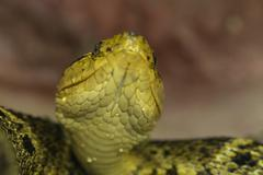 Stock Photo of Bothrops Asper Yellow Beard Viper Shot From The Ground Level Shallow Depth Of
