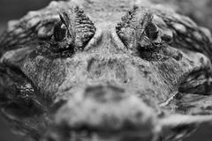 Close Up Of An Adult Male Caiman Shallow Depth Of Field Focus On His Eyes Stock Photos