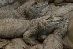 Group Of Caimans Waiting For The Sunrise In A Small Port In Ecuadorian Amazonia Stock Photos