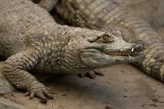 Close Up Of An Adult Male Spectacled Caiman Stock Photos