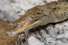 Close Up Of An Young Yacare Caiman Heating In The Sun Stock Photos