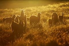 Heard Of Lamas In Ecuadorian Andes Contre Jour Slightly Retouched In Ps For More - stock photo