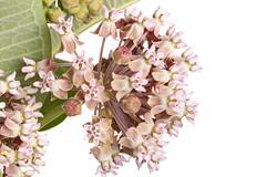 Flowers of common milkwed isolared against white - stock photo