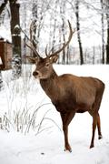 Large Adult Fallow Dear In Winter Time Very Shy Animals Stock Photos