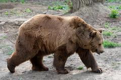 The Brown Bear Is A Large Bear Distributed Across Much Of Northern Eurasia And - stock photo
