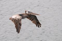 A brown pelican soars over ocean water. Stock Photos