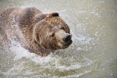 Stock Photo of Large Brown Bear Having Fun In The Water