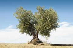 Olive tree on blue sky Stock Photos