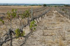 Stock Photo of poor harvest vineyards