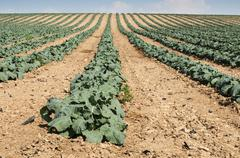 Cabbage plantation Stock Photos