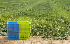 Stock Photo of harvest spinach in plantation