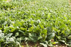 spinach plantation - stock photo