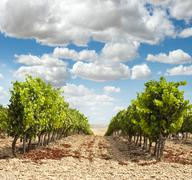 Vineyards in rows and blue sky Stock Photos