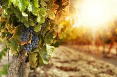 vineyards at sunset - stock illustration