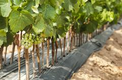 Young vineyards in rows. Stock Photos