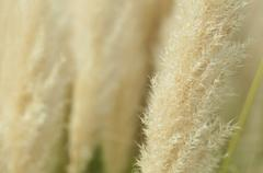 crema color fluffy plants - stock photo