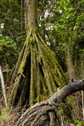 Stock Photo of Socratea Exorrhiza The Walking Palm Or Cashapona Is A Palm Native To Rainforests