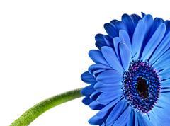 close up abstract of a blue daisy gerbera - stock photo