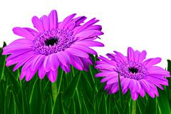 Colorful daisy gerbera flowers in a field - spring background Stock Photos
