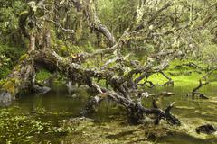 Lagoon Into The Ancient Polylepis Forest In Ecuador Estimated To Be 3000 Years - stock photo
