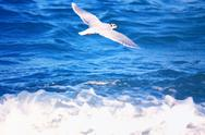 Stock Photo of Flying Seagull