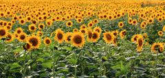 Just Sunflowers - stock photo