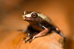 Very Small Unedified Frog In Ecuadorian Jungle Of Amazon - stock photo