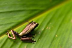 Very Small Unedified Frog Sitting On A Leaf In Ecuadorian Jungle Of Amazon Stock Photos